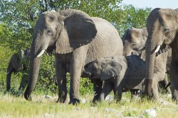 Elephants attempt to leave the Olifantsbad Waterhole