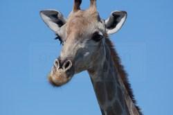 A giraffe looks around for his herd