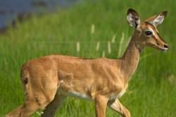 A springbok keeps a careful eye