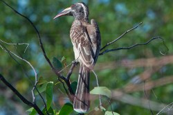 hornbill sits in a tree along the road on Eland Drive