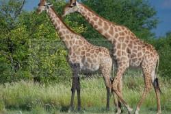 Several giraffes walk towards the Nuamses waterhole
