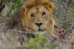 A lion turns to look at noisy Germans while dining on an oryx