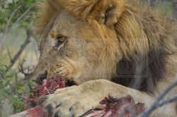 A lion grips with his big paw to chew up the meat off the bone