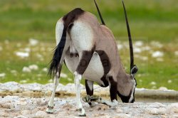 An oryx kneels down to pray or drink from the water at Gemsbokvlakte