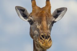 giraffe looks around