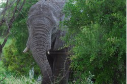 elephant emerges from the trees