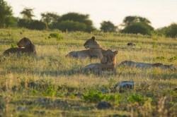 Several lions relax in grass