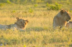 A lioness pops her head up in the grass