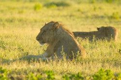 A lion sits around in the grass planning their day