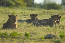 Several lions enjoy their day off in the grass