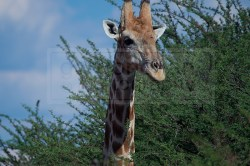giraffe turns and looks at the tourists