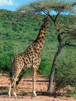 A giraffe dines on a tree