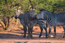 Several zebras debate whether they should charge the vehicle
