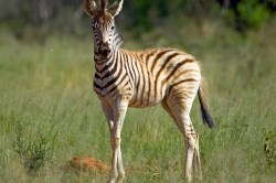 A baby zebra stares at the vehicle