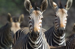Zebras look curious at passerby's with a camera