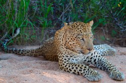 A leopard sits in the sand of a dried river bed