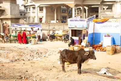 A cow stands near the Kalachakra Area