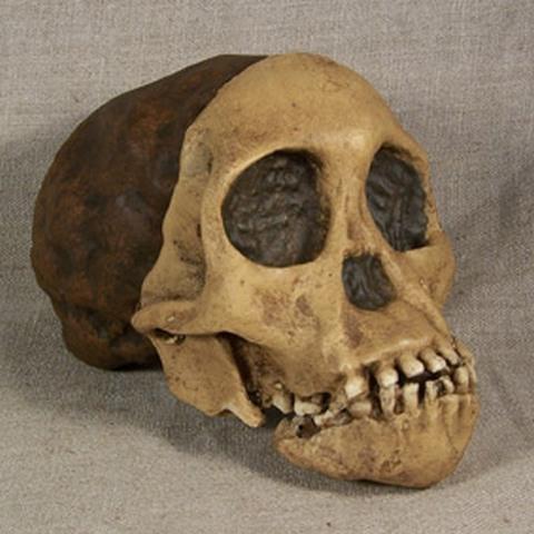 australophitecus-africanus-taung-child