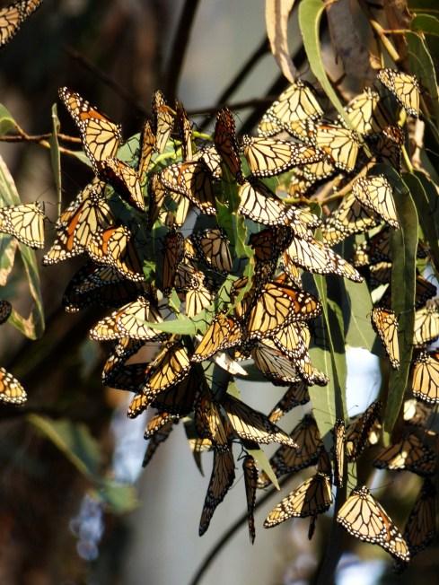 Monarch Butterflies in Santa Cruz, California.