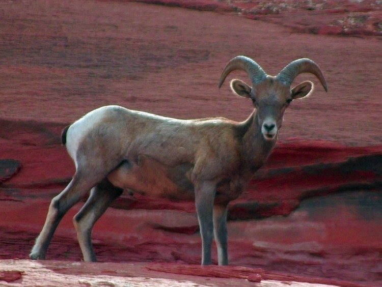 Bighorn sheep can survive without water for several days in Death Valley