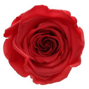 rose amor roses