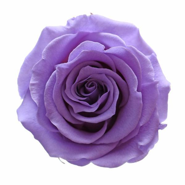 Purple roses buy