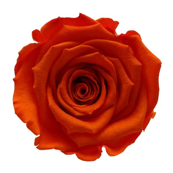 Best Ecuador roses buy