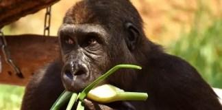 Gorilla Diet