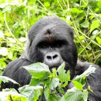Where Do Gorillas Live - Gorilla Habitat