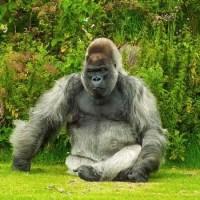 How Much Does A Gorilla Weigh - Gorilla Weight
