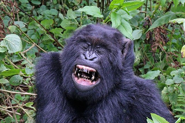 Why Are Mountain Gorillas Endangered
