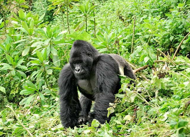 Why Is The Eastern Gorilla Endangered