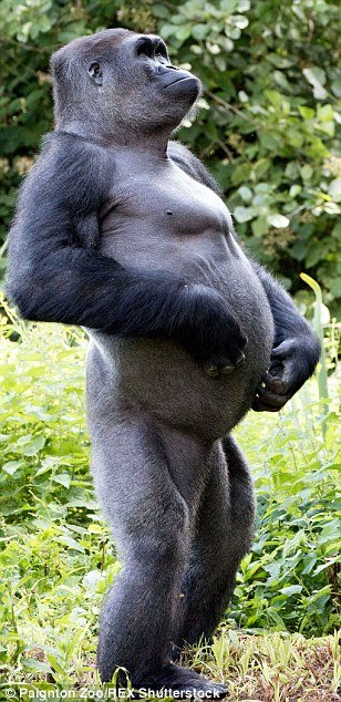Gorilla standing up - photo#33