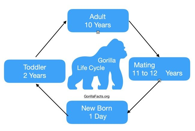 Gorilla Life Cycle