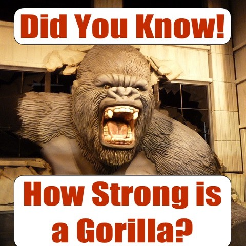 how strong is a gorilla - gorilla strength