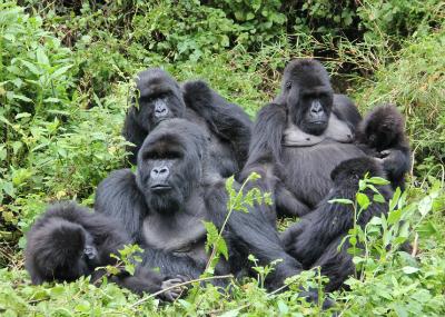 Stressed Gorilla Group Challenges Staff Dian Fossey