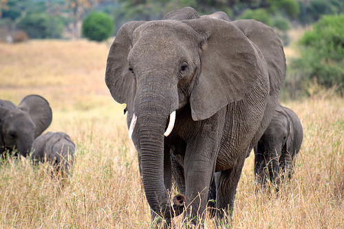 Where Do Elephants Get Their Protein?