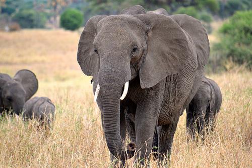 Where Do Elephants Get Their Protein?
