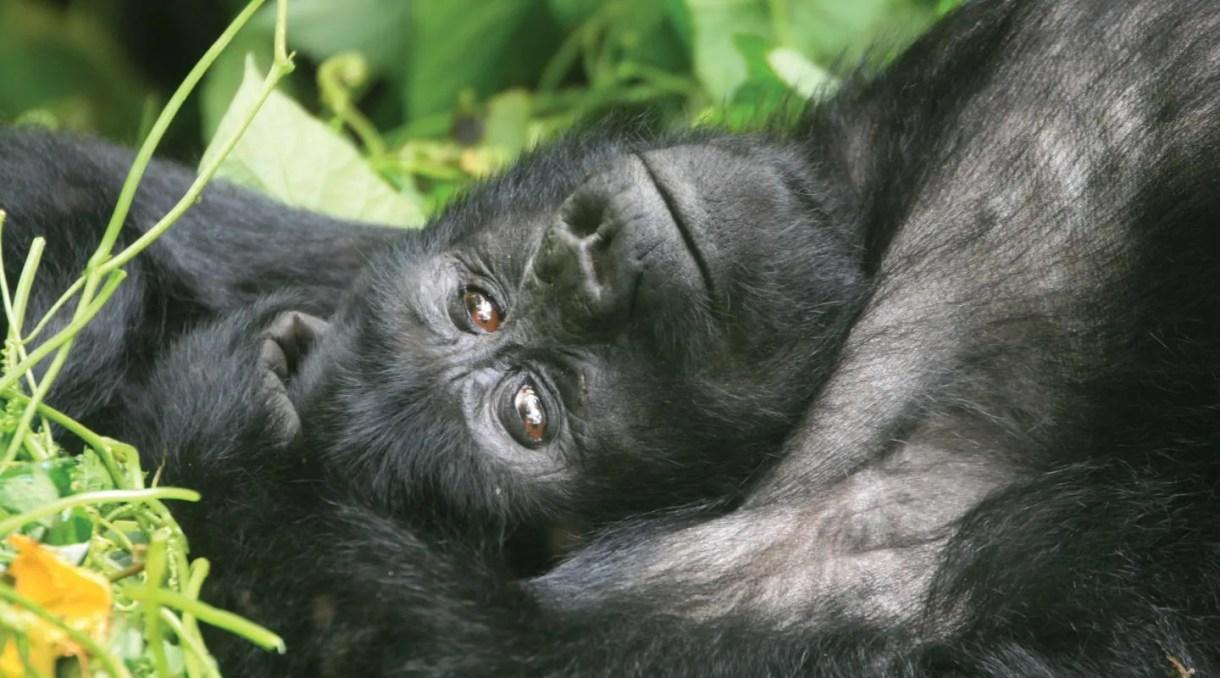 Kyaguliro A&B Gorilla Groups