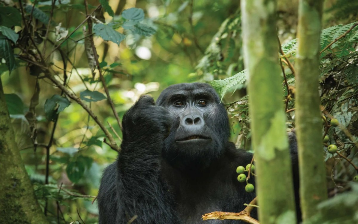 Frequently Asked Questions About Mountain Gorillas Trekking
