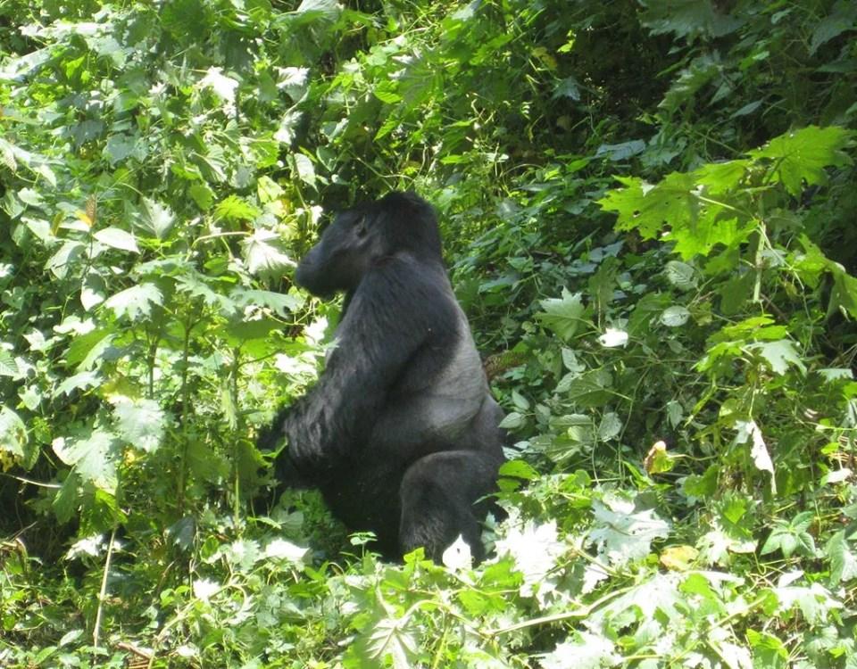 Gorilla Trekking in Uganda: The Adventure