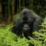 Uganda Gorillas and Chimpanzee Tour