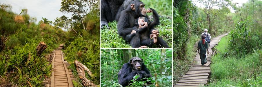 bigodi wetland chimps