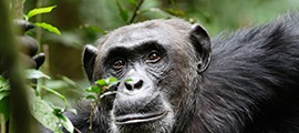 6 Days Uganda Wildlife and Chimpanzee Trekking Safari