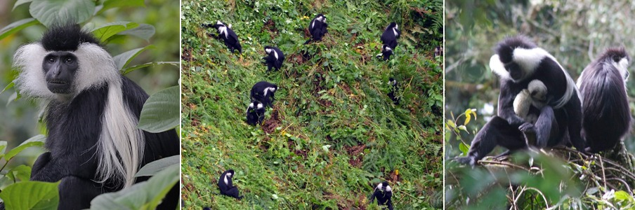 colobus monkey trekking