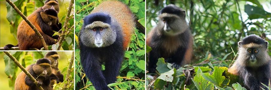 golden monkey trekking rwanda