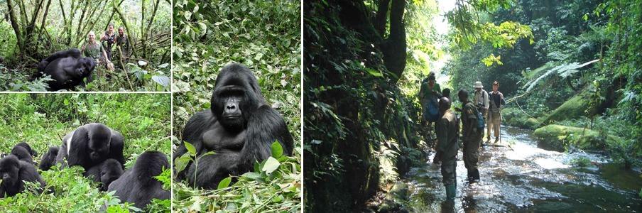 gorilla trekking bwindi impenetrable forest