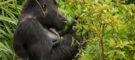 21 Days Uganda Gorilla Trekking Safari Tour, Chimpanzee trekking & Wildlife tour