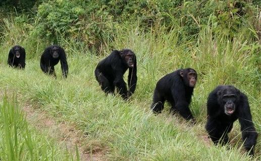 3 days Chimpanzee Tracking Safari in Uganda