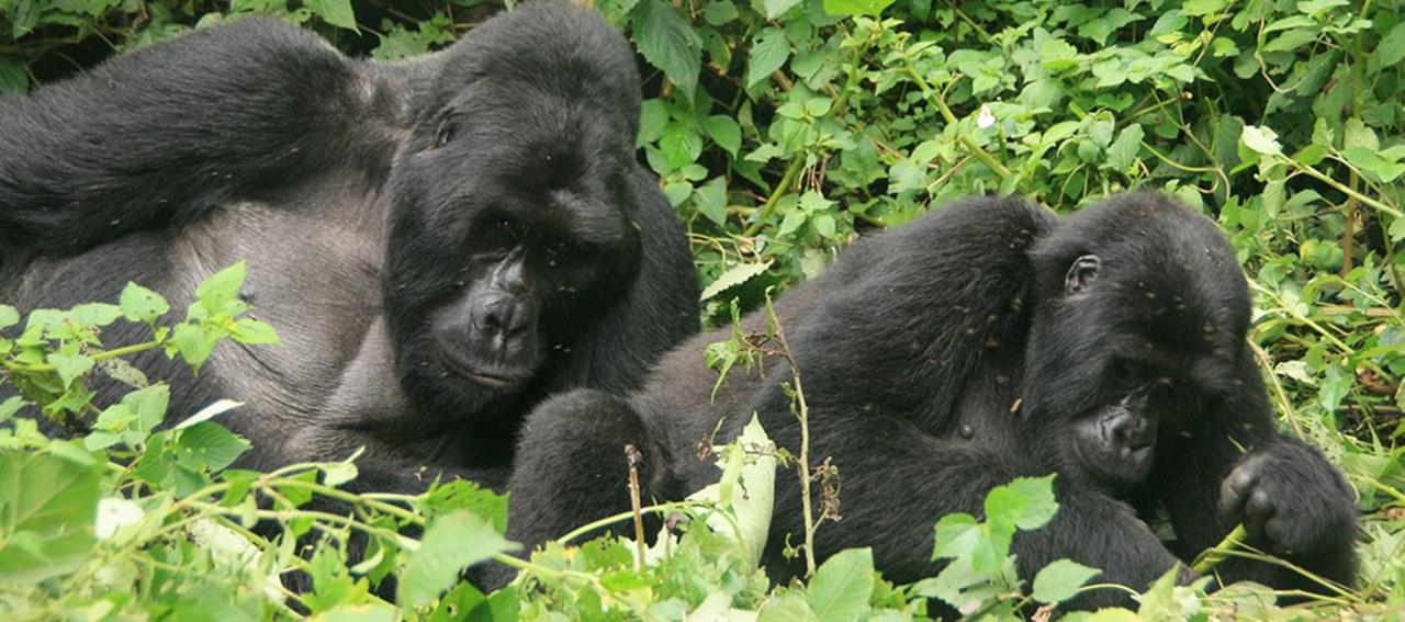 2 Days Gorilla Safari in Uganda from Kigali Rwanda